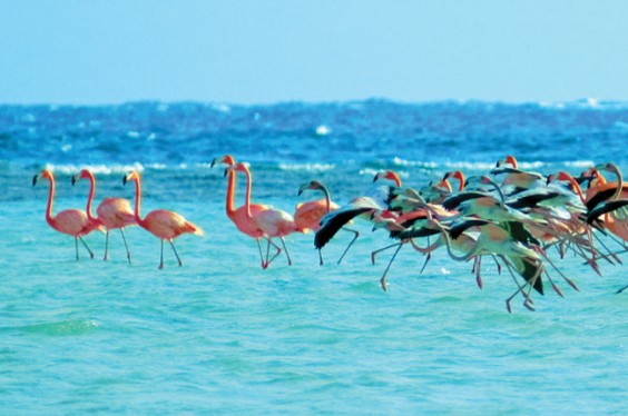 West-Indian-Flamingoes-of-Inagua-Bahamas-564x374